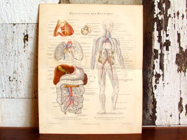 ドイツ アンティーク・医療系リトグラフ(人体の血管)