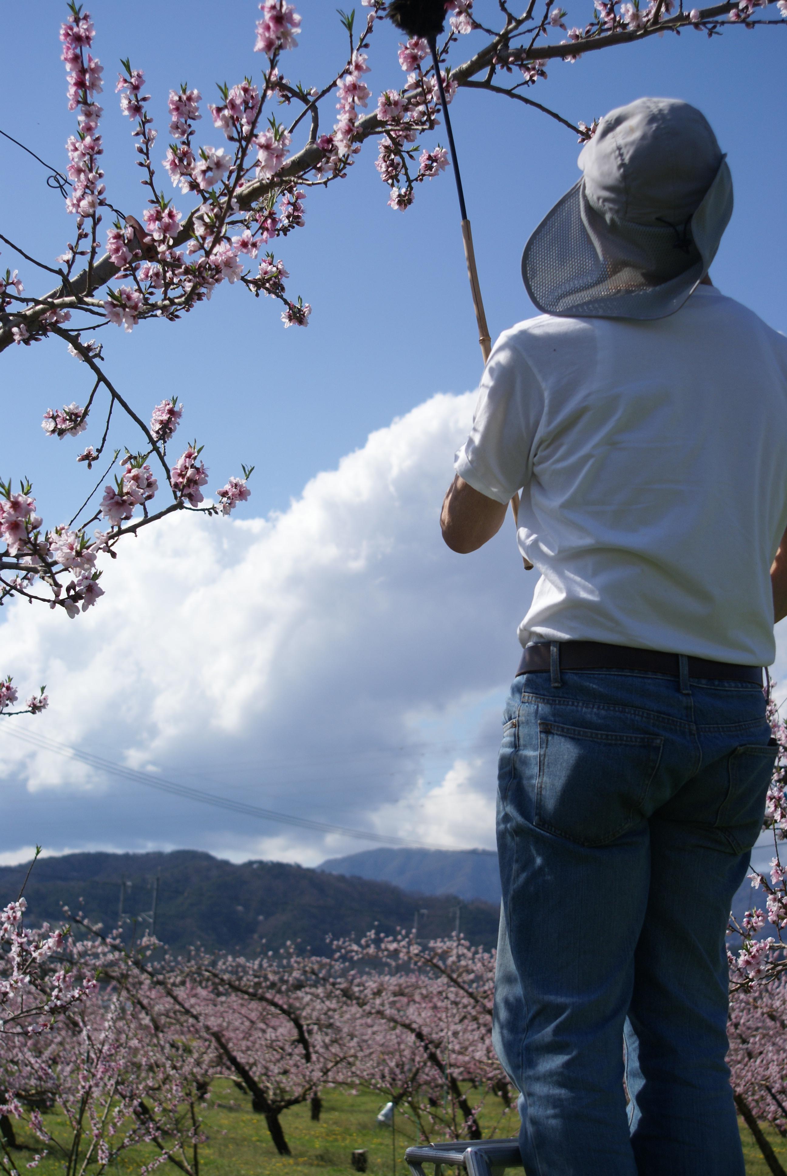 桃の花が見頃です!!!