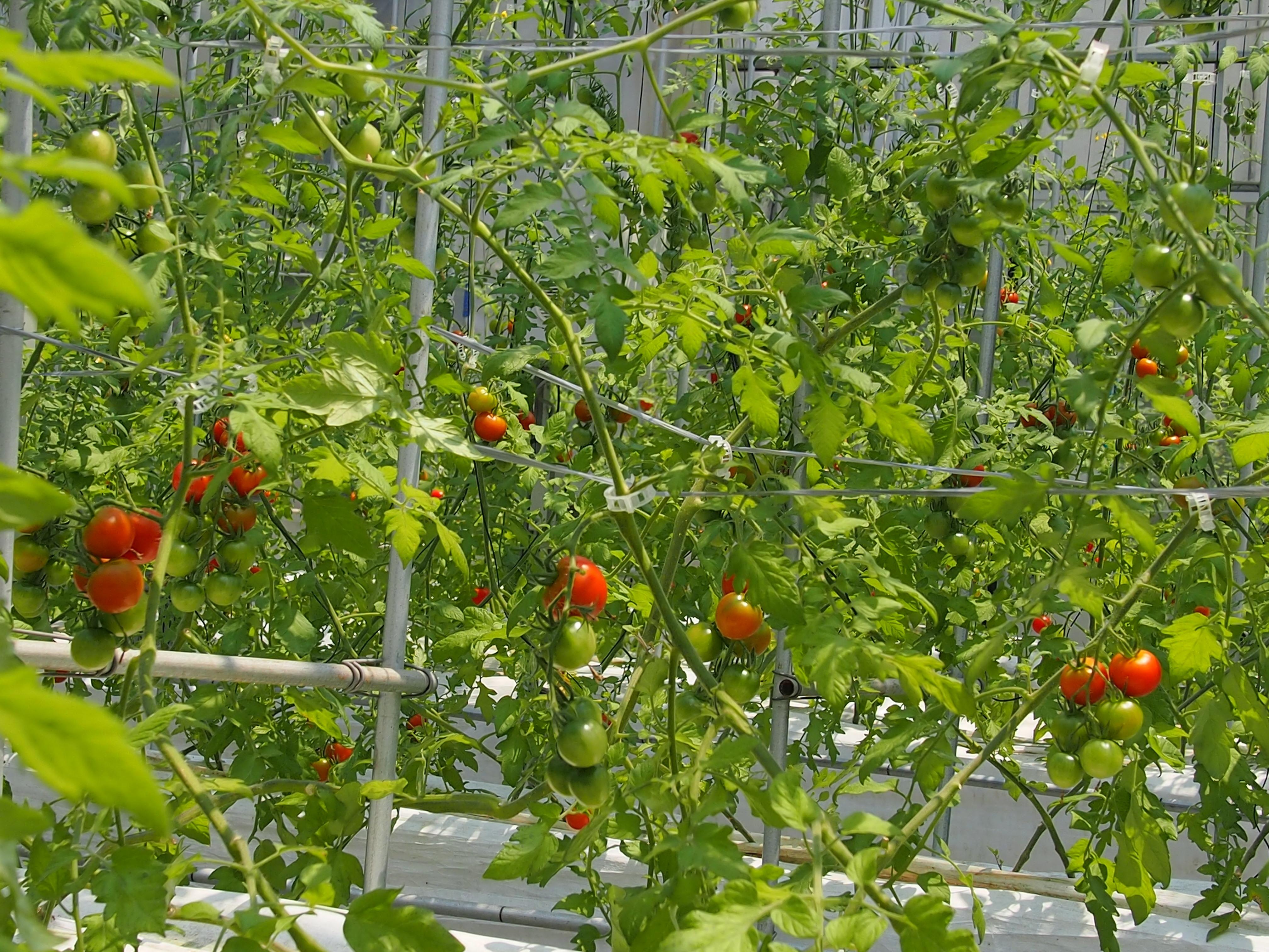 トマトの森です。