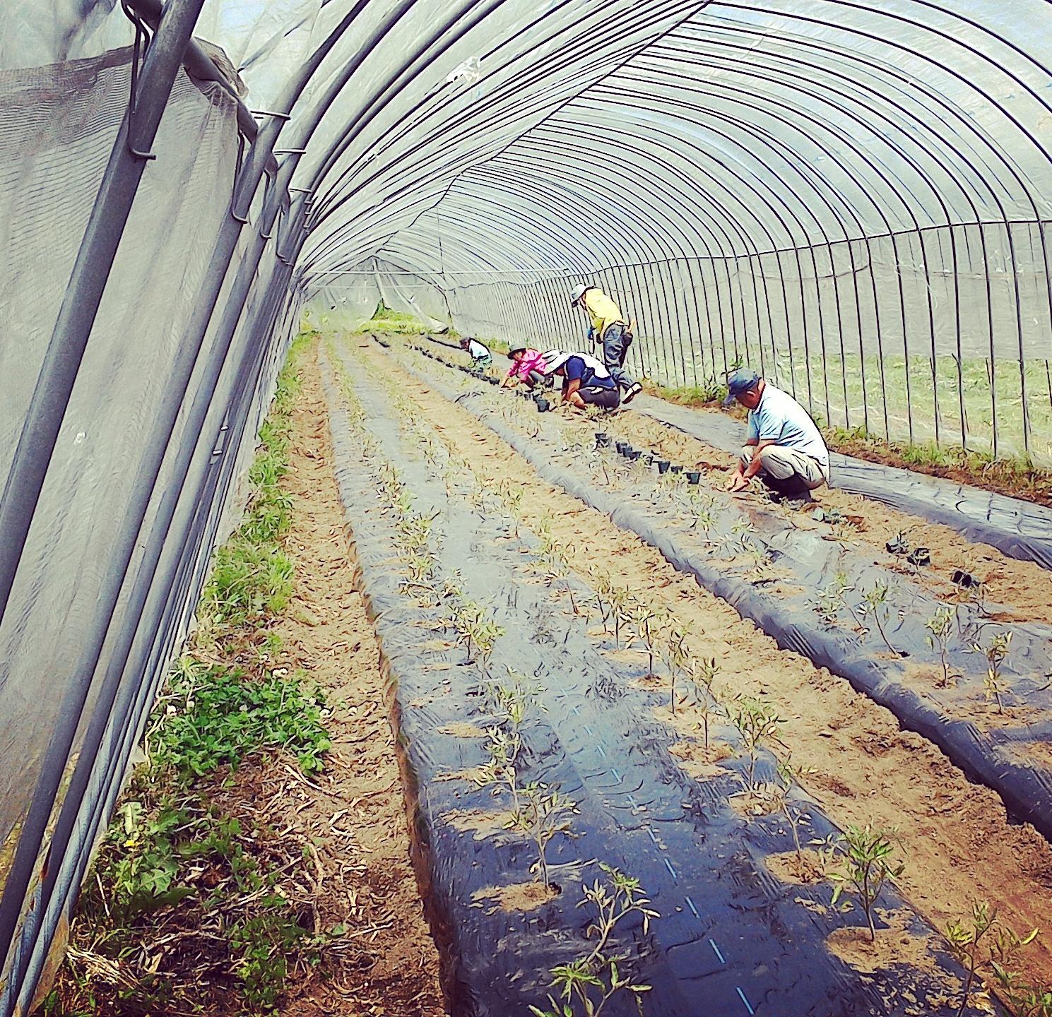 トマト二日間で2000鉢 植付け+ ハウスビニール張り & 畝立てマルチ張り~ 一気作業f^_^;