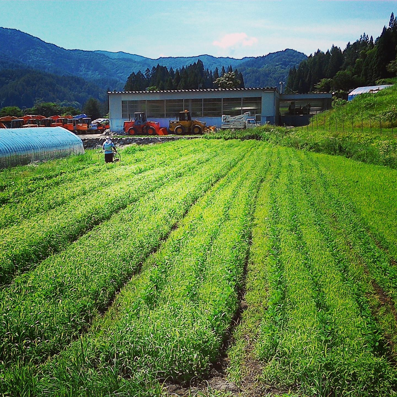 地大豆が草で埋まりそうでしたが、草苅機で何とか復帰しつつありますo(^-^)o