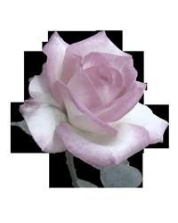 憧れのガーデンローズ ~ロゼット咲きの美しさに魅せられて~