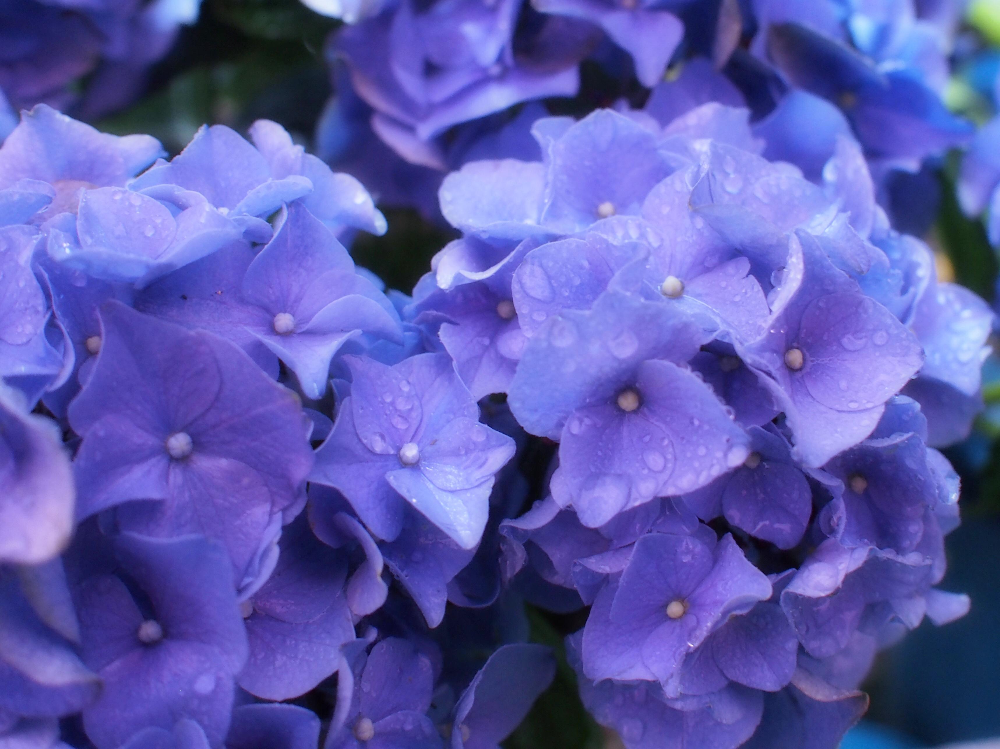 雨に濡れた美しい紫陽花