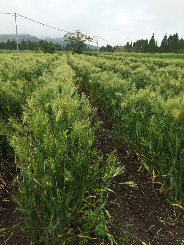 大麦がいい感じで育っています。