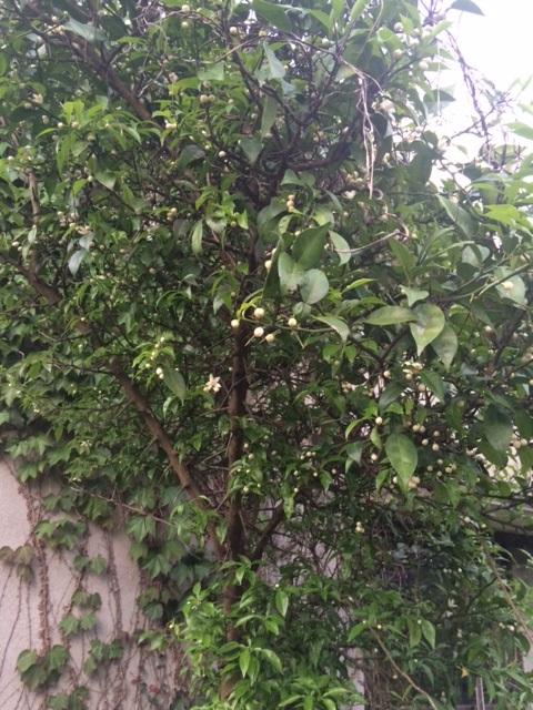 自生していた「柚子の木」を発見して20年くらい前に移植。忘れていました。
