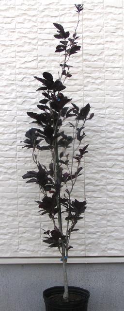 """ヨーロッパブナ """"ダーウィックパープル"""":暗紫色の細長い柱状に育つカラーリーフ"""