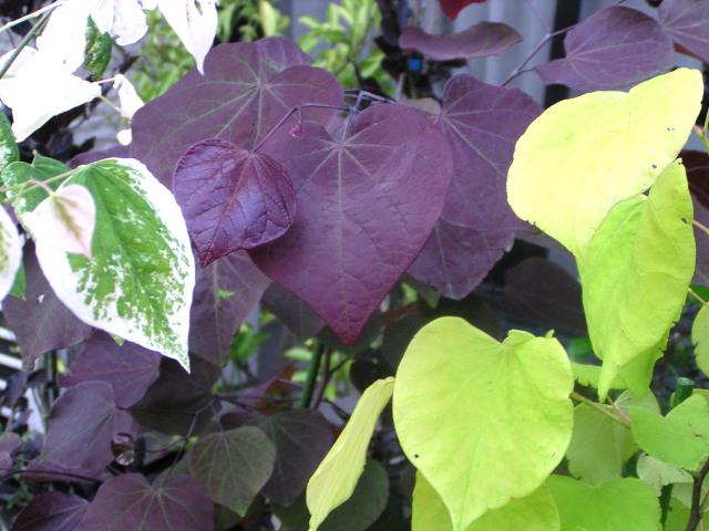 アメリカハナズオウ:ハート形で美しい葉の園芸品種や、赤紫色の蝶が群れているような花が魅力の人気品種