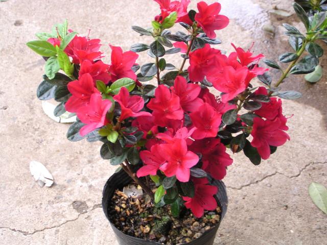 """久留米交配ツツジ """"ウオッシュルビー"""":星形のルビーが株を覆うかの如き、鮮烈な真紅の花"""