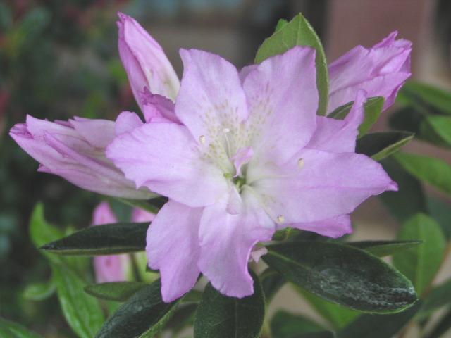 """ツツジ """"貴婦人"""":淡紫色のグラデーションが美しい、気品ある「貴婦人」"""