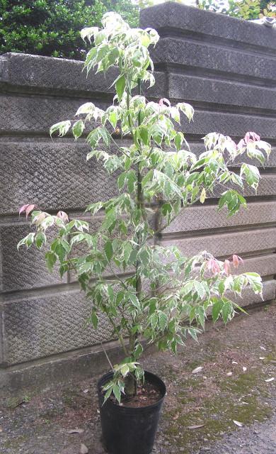 """ネグンドカエデ """"フラミンゴ"""":フラミンゴのようなピンクに、白色、緑色の三色カラーリーフ"""