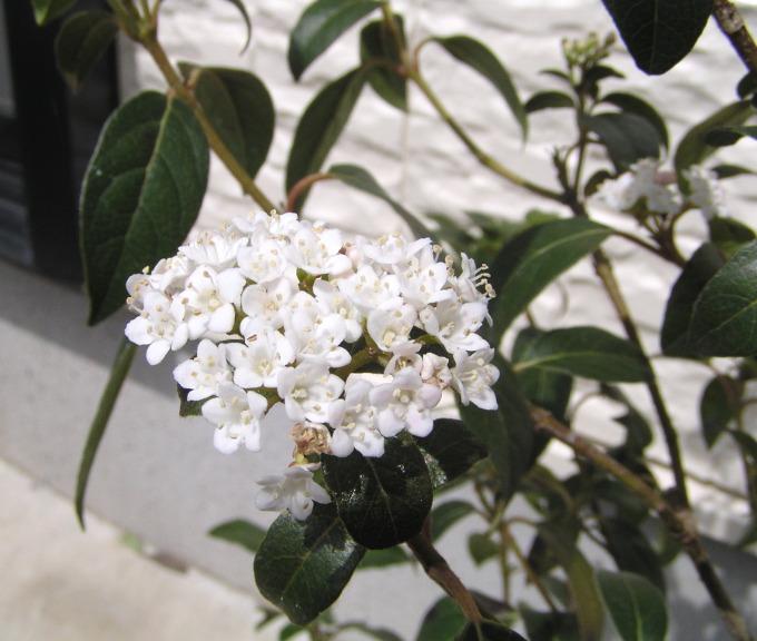 ビバーナム・ティヌスの花盛りが過ぎました。